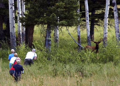 In this Aug. 3, 2016 photo, Yellowstone National Park tourist John Gleason moves in on a large bull elk as two of his children and two children of friends follow the Walla Walla, Washington man. The animal ran away as the group got closer. Park officials say visitors getting too close to wildlife can create dangerous situations and has been on the rise as visitor numbers hit record levels. (AP Photo/Matthew Brown)