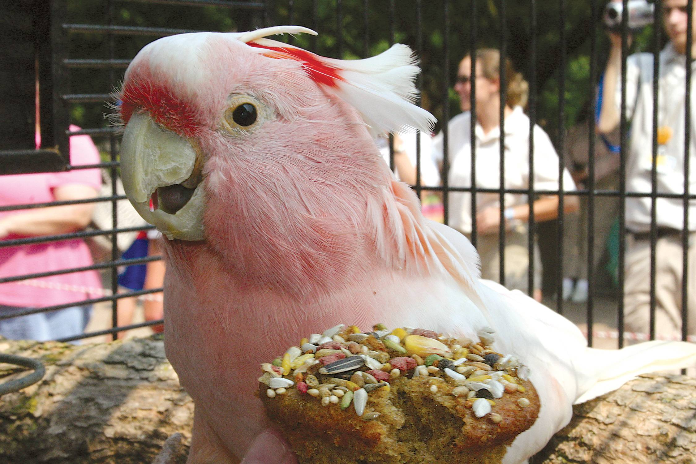 Cookie the cockatoo was the coddled patriarch of the Brookfield Zoo. The bird died Saturday at 83.