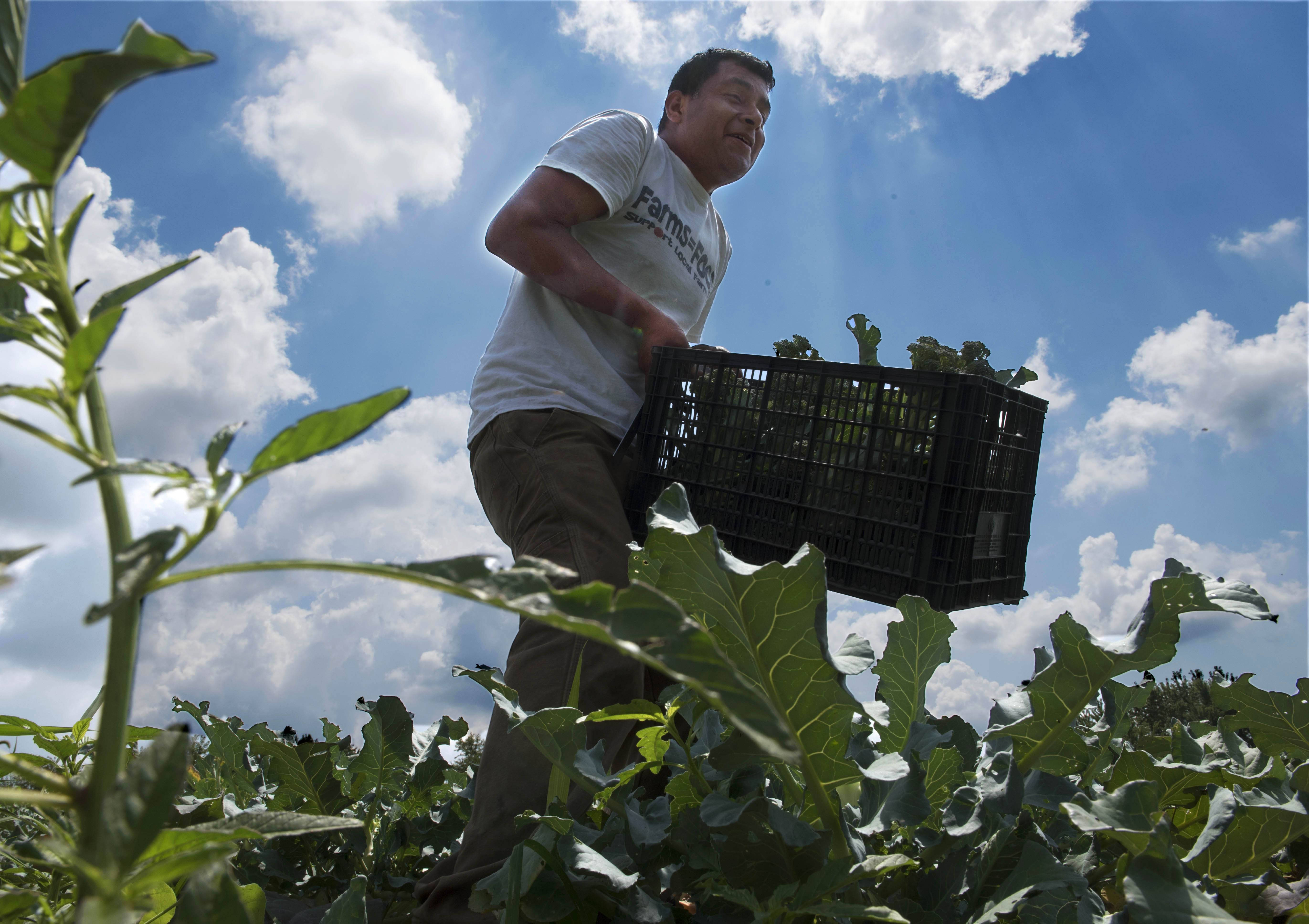 Co-owner Luis Bernard carries a crate of freshly-picked broccoli through the fields of Rustic Road Farm in Elburn.