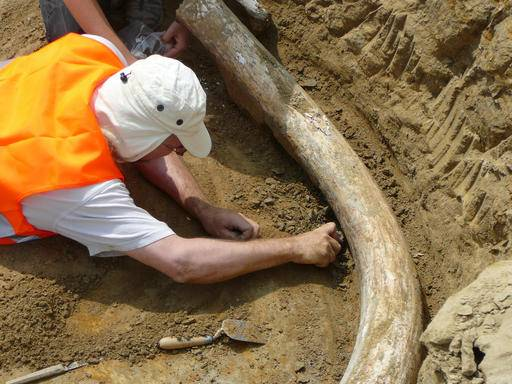 In this undated photo provided by Vienna Museum of Natural History an employee of Vienna's Museum of Natural History works on tusk of a mammoth. The museum team has recovered two giant tusks and other remnants of what experts say are apparently the remains of a rare mammoth breed, after construction crews unearthed them while working on a stretch of Austrian freeway near Bullendorf north of Vienna. (Dr. Ursula Goehlich/Museum of Natural History via AP)