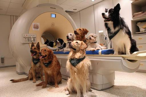 This undated photo made available by Eniko Kubinyi of Eotvos Lorand University in Budapest on Tuesday, Aug. 30, 2016 shows trained dogs, involved in a study to investigate how dogs process speech, posed around a scanner in Budapest, Hungary. A study published in the journal Science showed that their brains process words with the left hemisphere and use the right hemisphere to process intonation - just like humans. (Eniko Kubinyi/Eotvos Lorand University via AP)