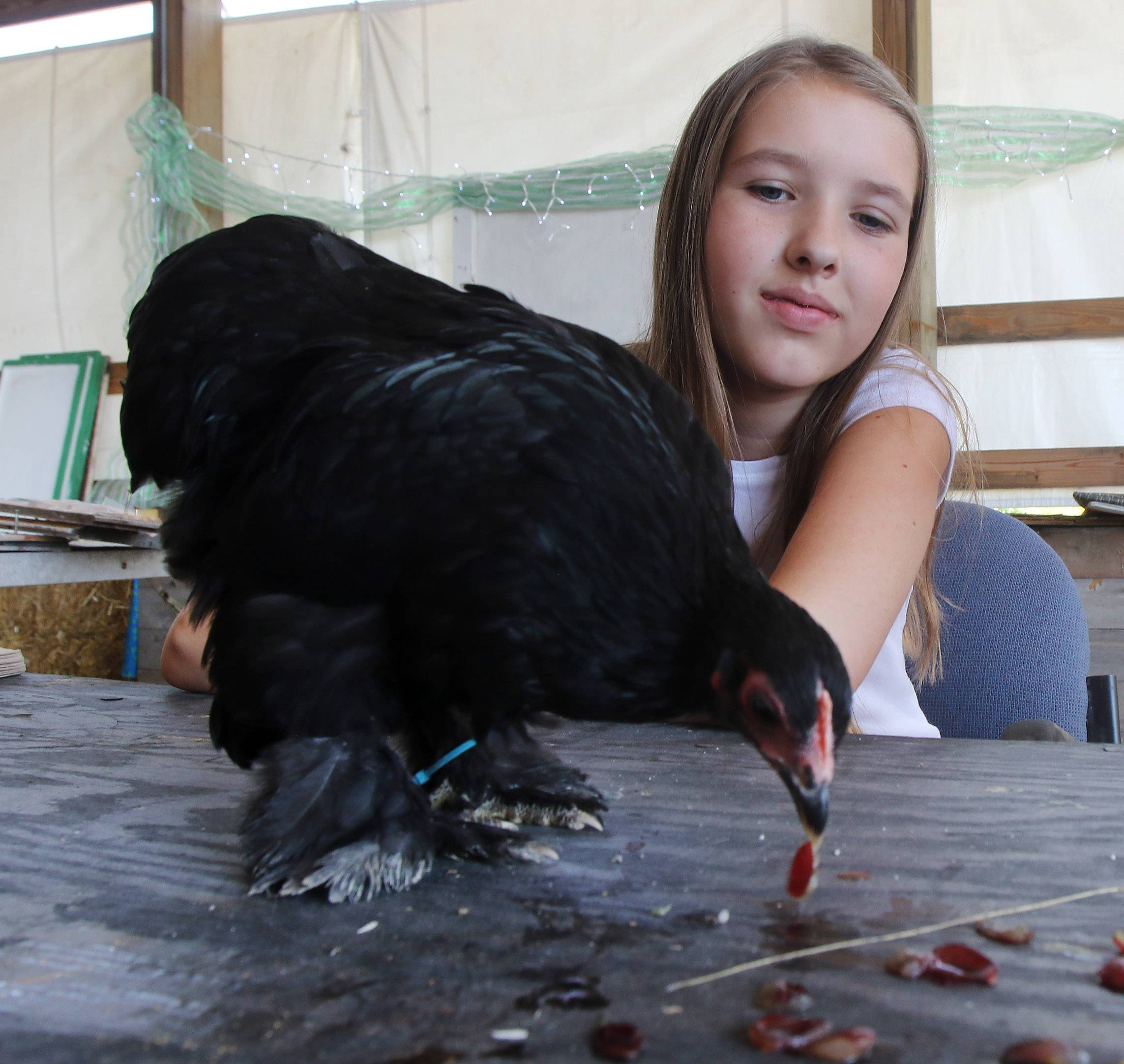 Ariana Hatfield, 12, of Wauconda, watches a chicken eat during the Lake County Fair earlier this summer. Ariana's mom supports a plan to allow Wauconda residents to keep chickens in their backyards.