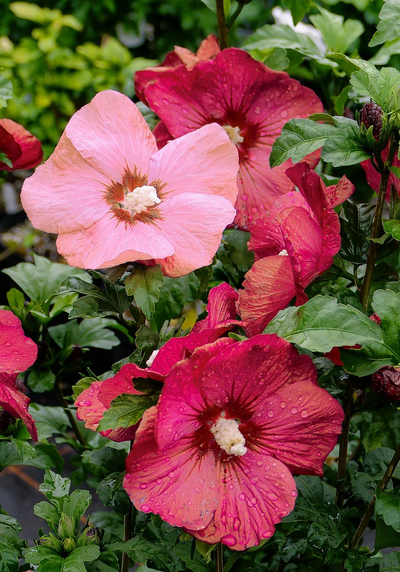 this unnamed rose of sharon variety was developed by british plant breeder roderick woods