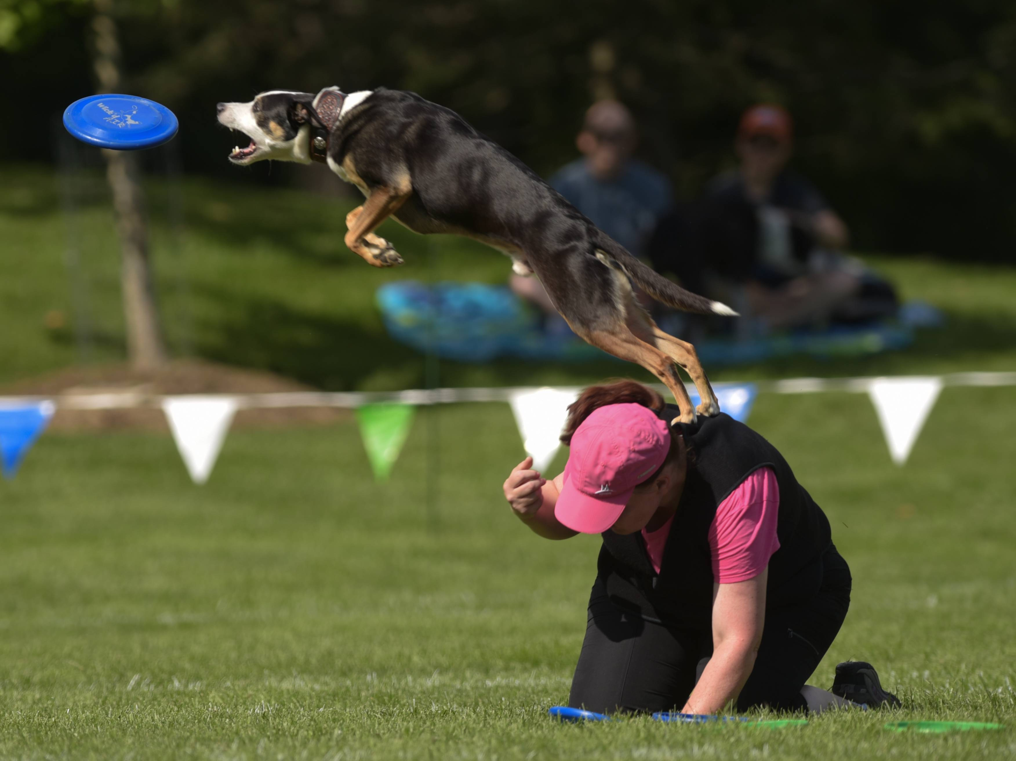 "Laura O'Neill and ""Frenzy"" compete in the Ashley Whippet Invitational K-9 Frisbee World Championship Series in the Riverwalk Grand Pavilion of Naperville."