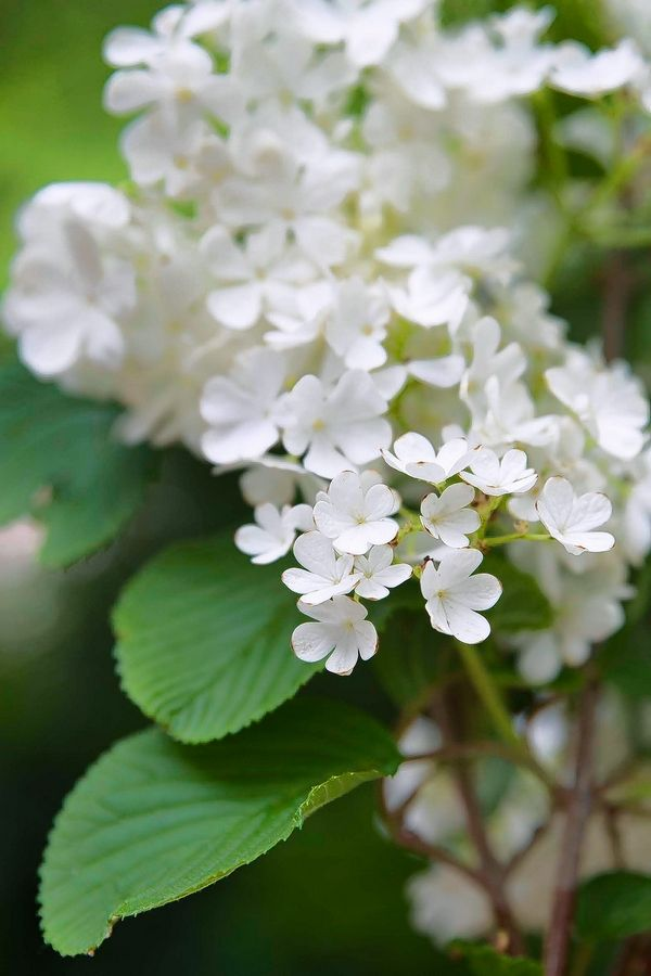 When pruning, be aware of flowering shrubs such as lilacs that have already set flower buds for next spring.