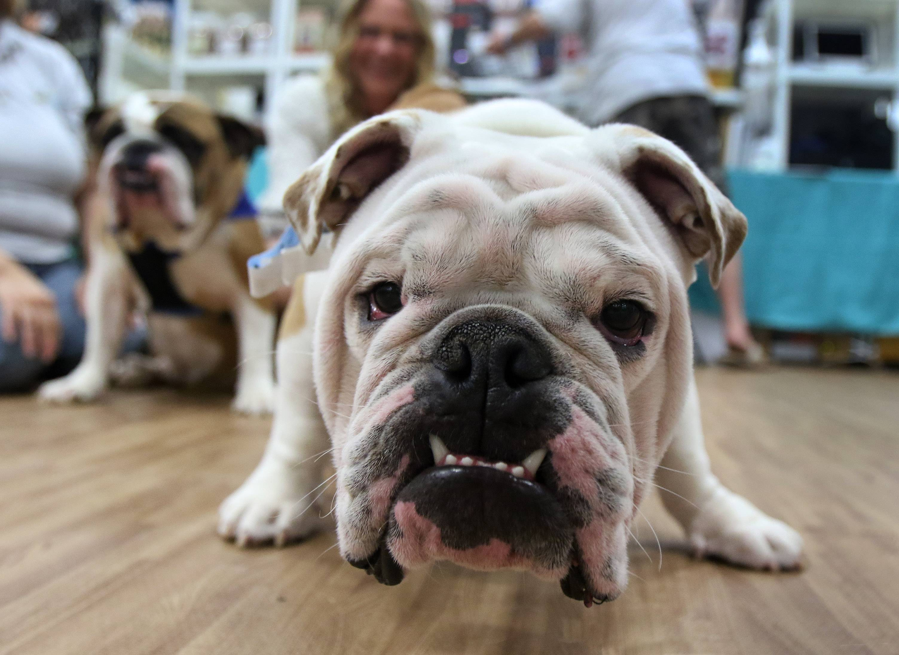 Murphy, an English bulldog, greets visitors at Adop-A-Bulldog during the Chicago Pet Show on Sunday at the Libertyville Sports Complex. The event featured pet services, pet products, entertainment, magic acts, and a chance to adopt pets from local rescue agencies.