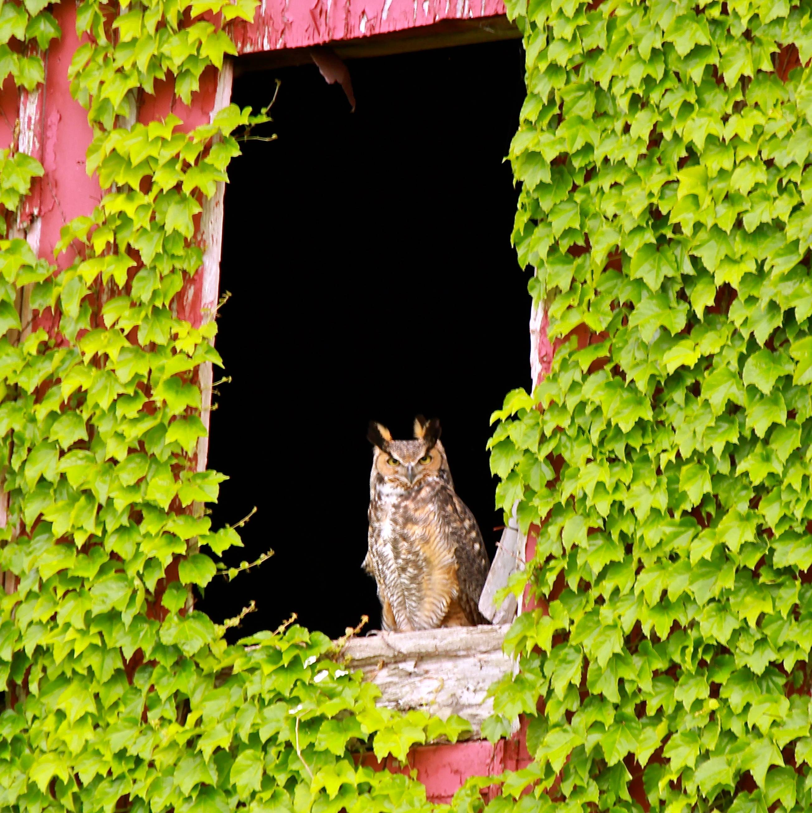 This Great Horned owl likes to frequent this barn in rural DeKalb County. I see him, or one of his other family members from time to time while driving into St. Charles on my commute.