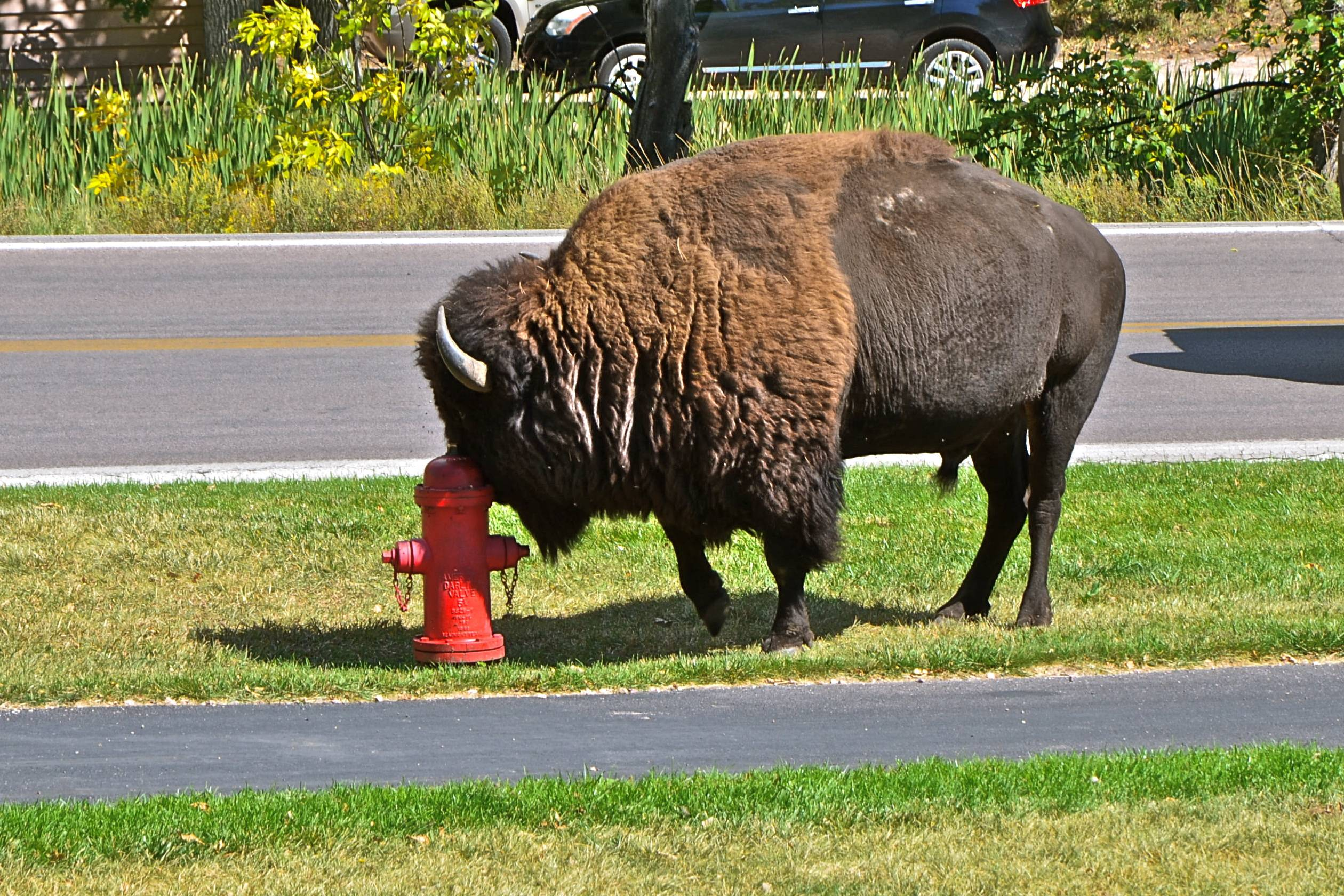 While sitting on the porch of the Game Lodge in Custer State Park in South Dakota this bison walked onto the lawn and used the hydrant to scratch his head. He then went next door to check out park personal setting up an outdoor wedding. Must not have been interesting because he just continued walking up the road.