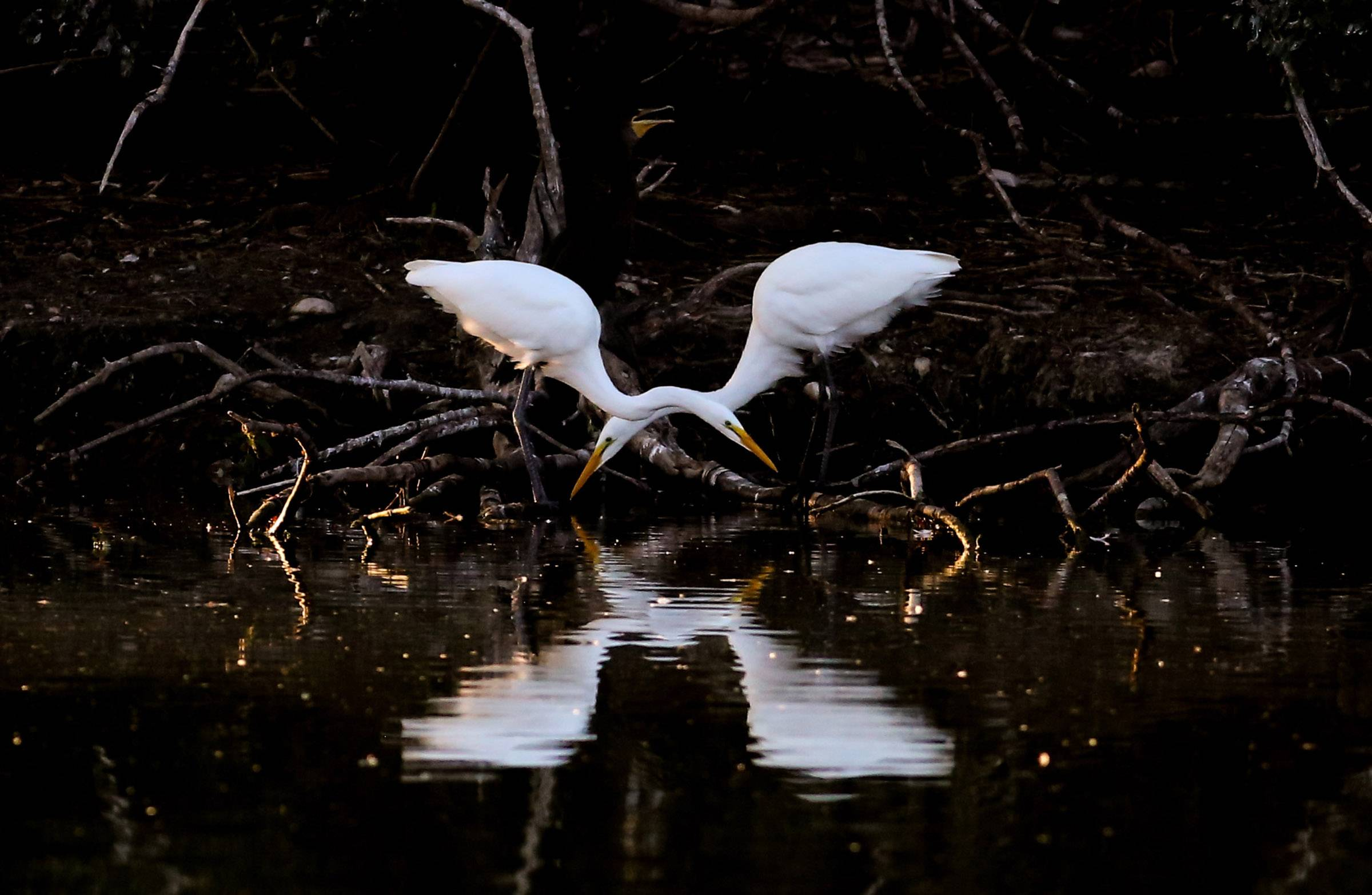 Egrets feed in a pond on Central Road in Hoffman Estates on July 26.