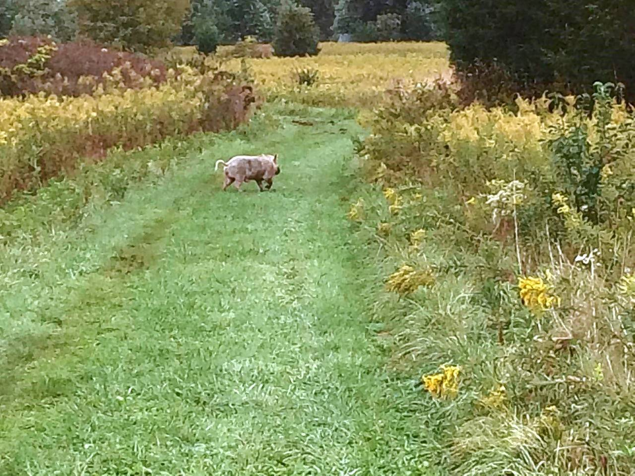 Officials say a male pig had to be removed from Springbrook Prairie Forest Preserve because of the potential damage it could have caused to the preserve near Naperville.