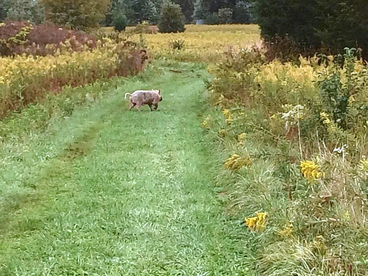 USDA kills pig at Naperville-area forest preserve