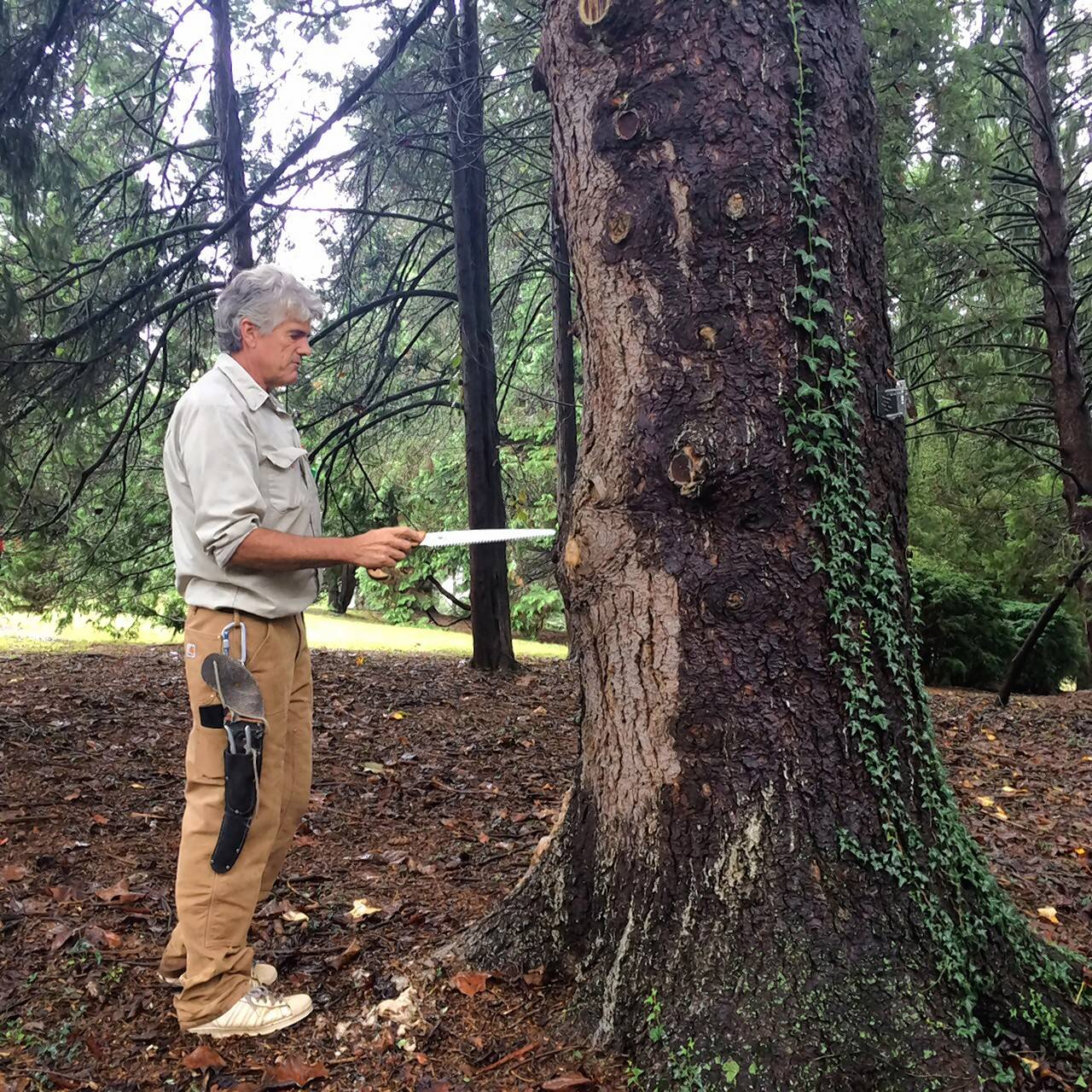 Scott Johnston checks out a mature Norway spruce at the State Arboretum of Virginia.