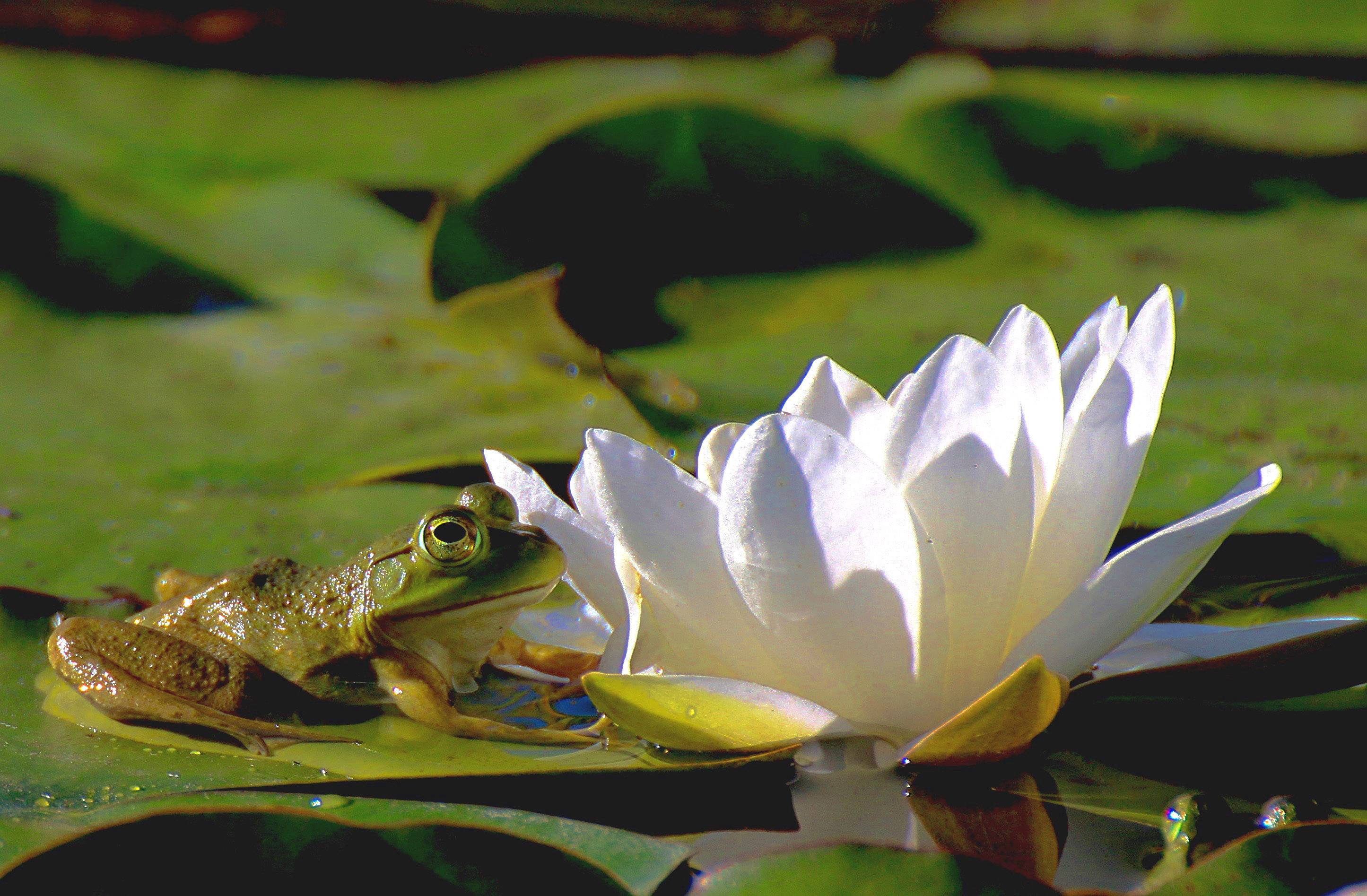 A frog sits on a lily pad as it sits near a water lily in Cantigny last week.