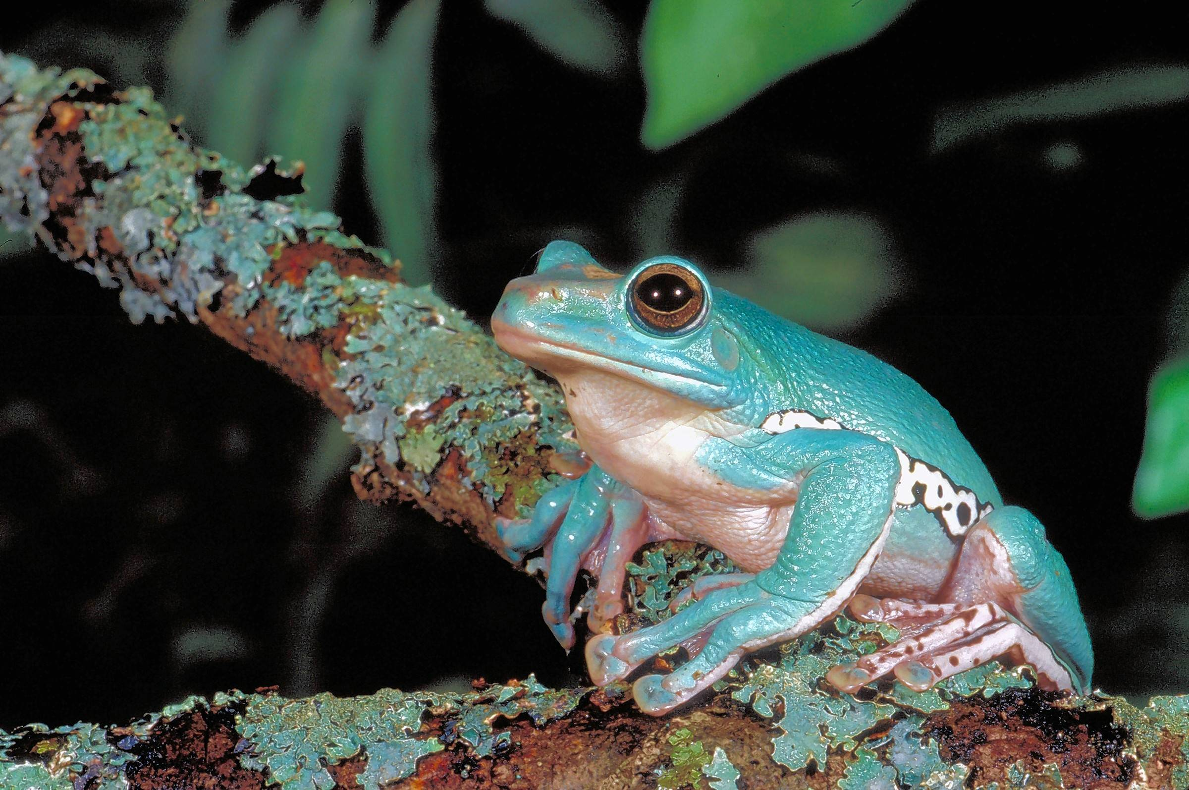 "The Chinese gliding frog is one of the species in Peggy Notebaert Nature Museum's ""Frogs: A Chorus of Color."""