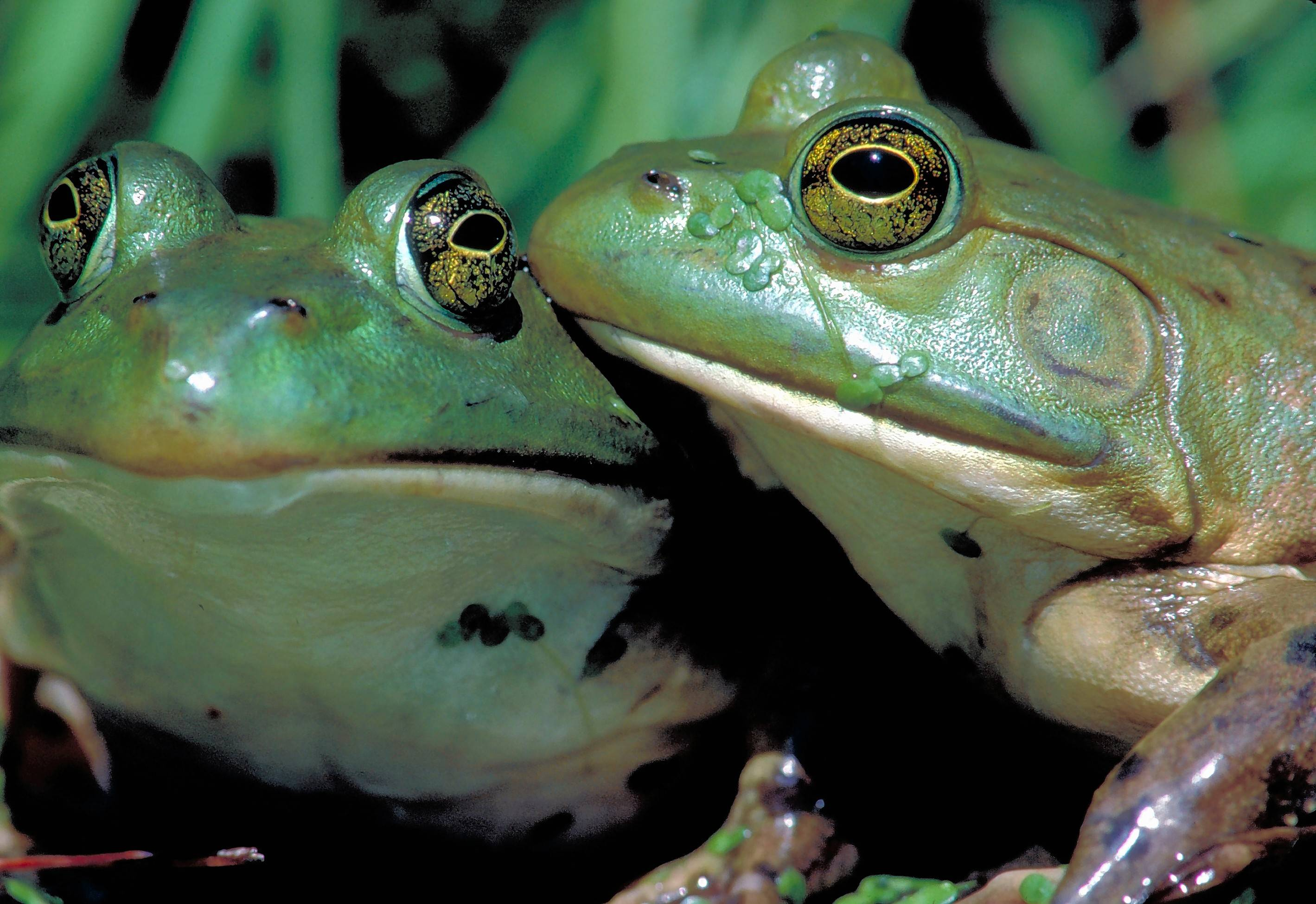 "See American bullfrogs and dozens of other species at the Peggy Notebaert Nature Museum's ""Frogs: A Chorus of Color."""