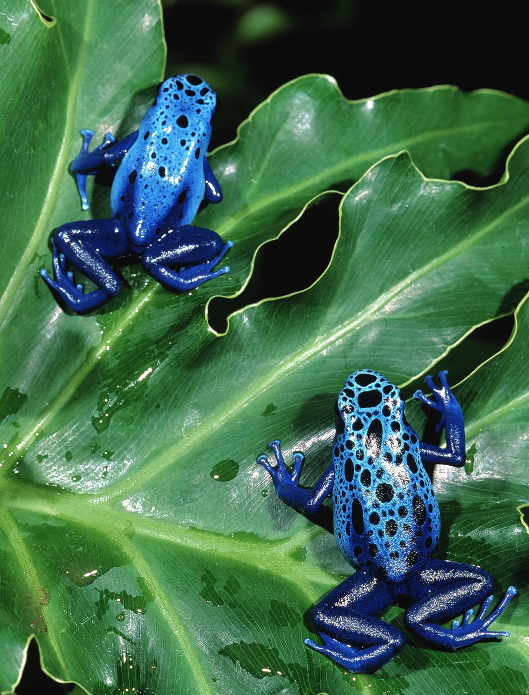 "Frog species from across the world are part of ""Frogs: A Chorus of Color,"" a traveling exhibit now at the Peggy Notebaert Nature Museum in Chicago."