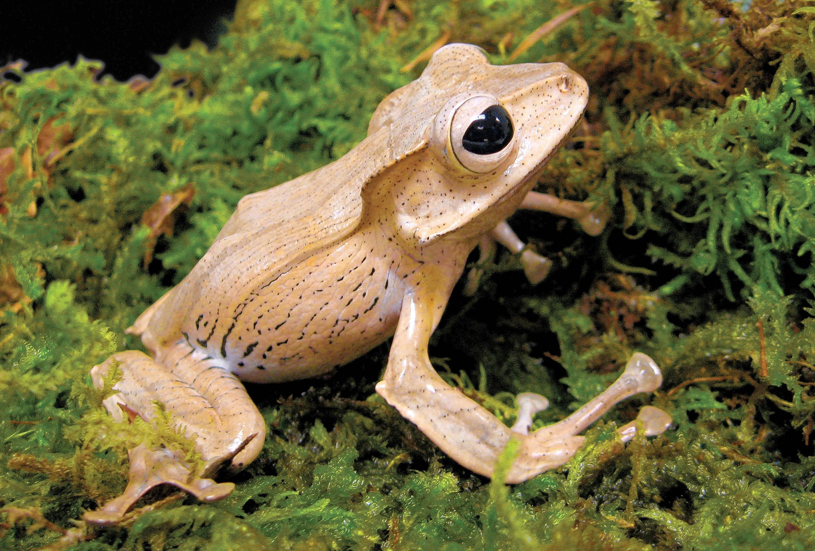 "The Borneo eared frog is one of the species in Peggy Notebaert Nature Museum's ""Frogs: A Chorus of Color."""