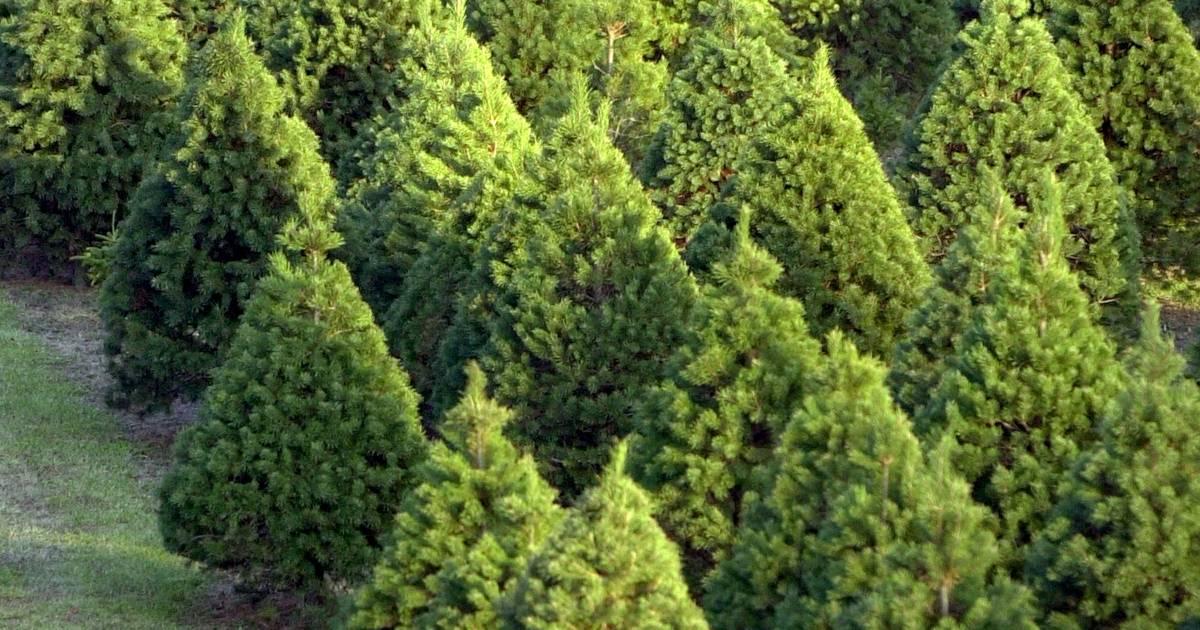 U Of I Extension Offers Christmas Tree Trivia