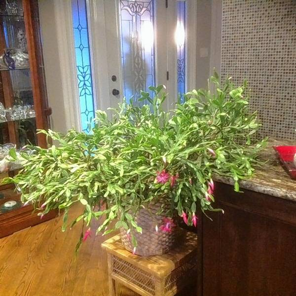 this christmas cactus belonging to kim and cheryl schlytter of lisle is estimated to be 100 - Christmas Catcus