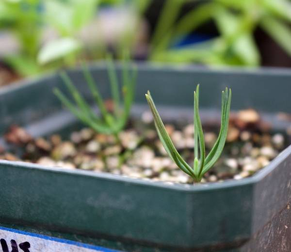 - Growing A Christmas Tree From Seed
