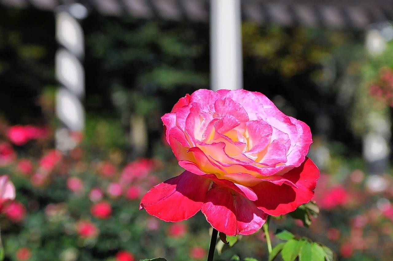 The Chicago Peace rose at Cantigny's rose garden, one of more than 20 garden and pond areas within the 29-acre park.
