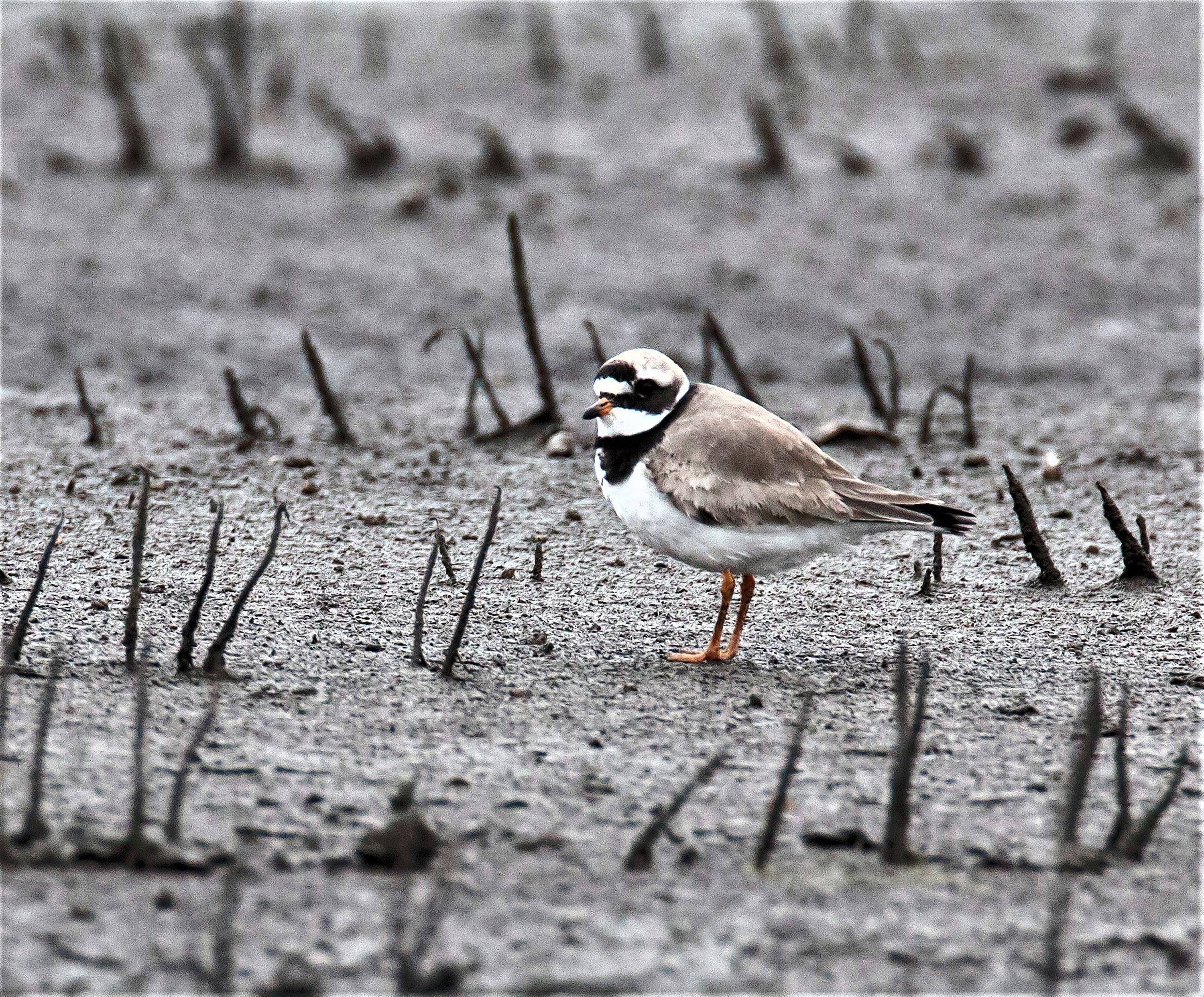 There was nothing common at all about this common ringed plover spotted south of Kankakee, a first for Illinois.