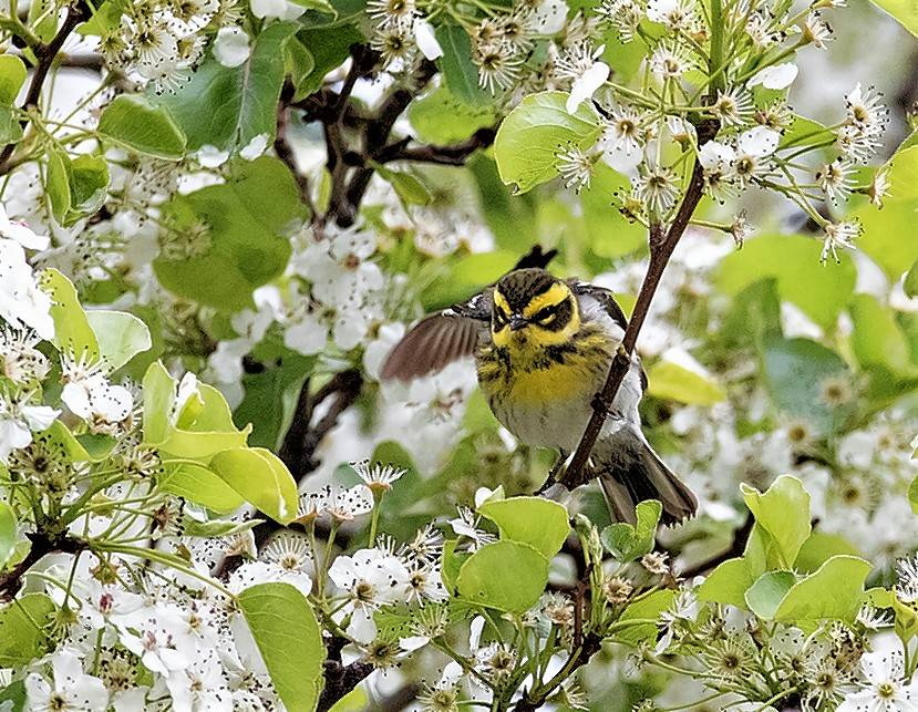 Birders raced to Chicago's Millennium Park last spring for a chance to see this Townsend's warbler, a western species.
