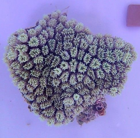 This is galatea or star coral, one of the nine species Katie Dziedzic is working with.