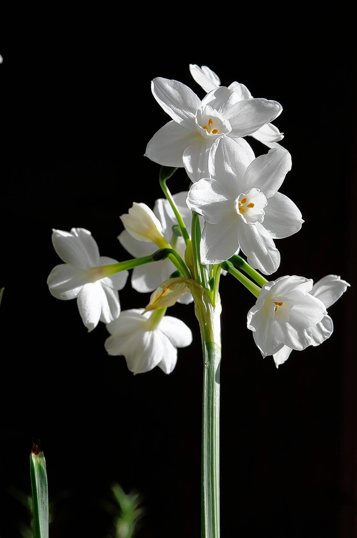 Paperwhite narcissus can be grown in a pot indoors with bright light.