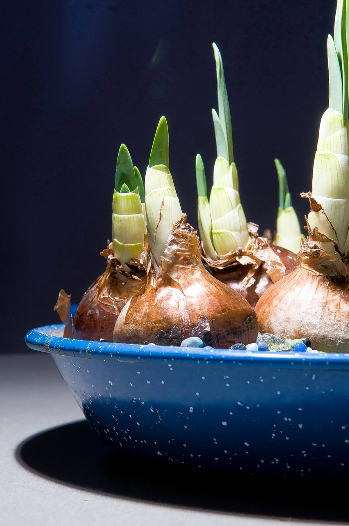 Leave enough space at the top of a pot to allow you to set in the bulbs, pointed end up on top of the mix.