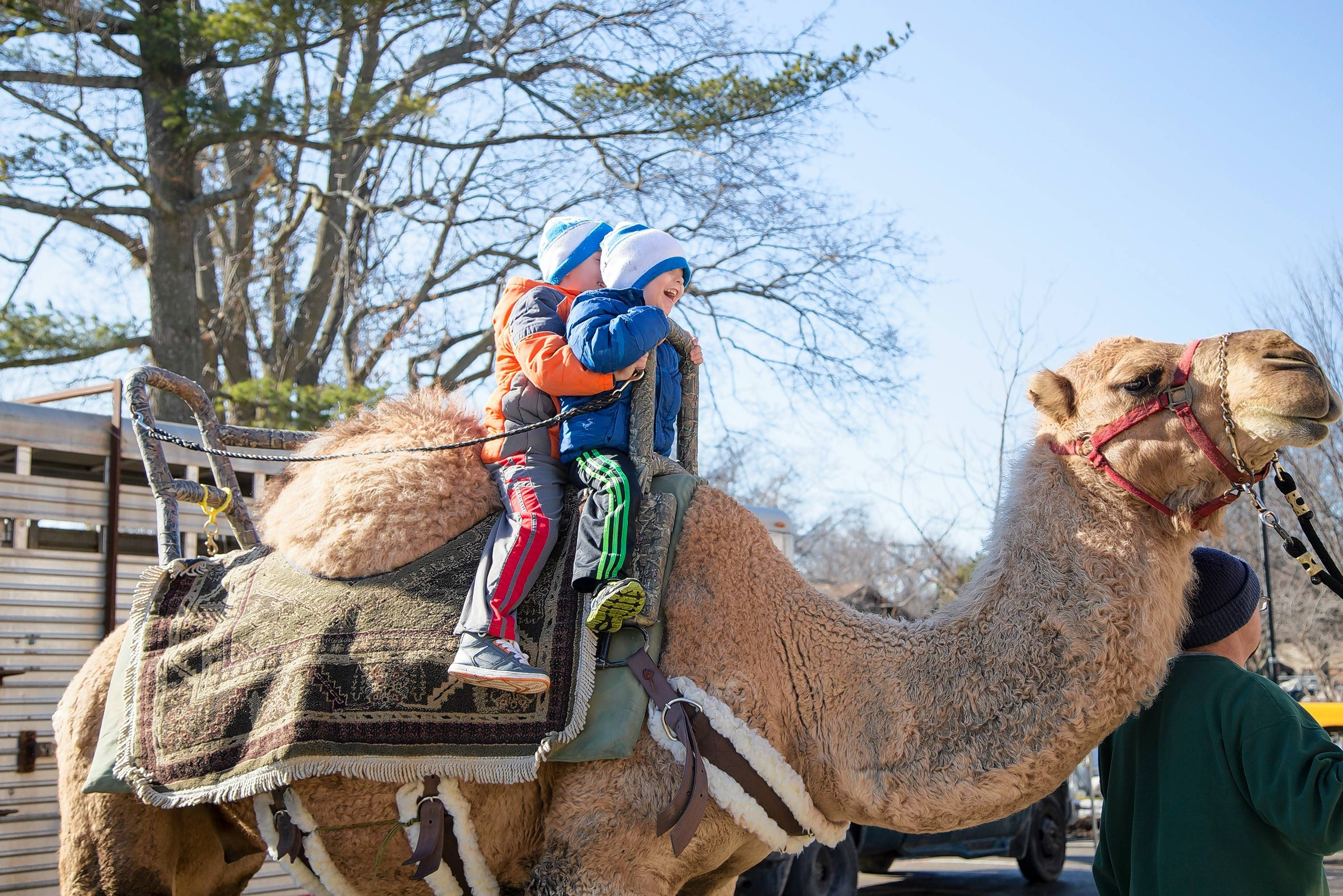 Camel rides in winter? Yes, the Winter Festival in Cedarburg, Wis., offers them.