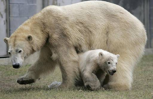 In this April 18, 2007, photo, a female polar bear cub, born at the Toledo Zoo in November 2006, passes underneath her mother, Nan, during her unveiling to the media at the zoo in Toledo, Ohio. Brookfield Zoo is hoping their new female polar bear Nan is a match with the suburban Chicago zoo's male polar bear Hudson. The Chicago Zoological Society said Tuesday, Feb. 14, 2017, that Nan arrived in earlier February after spending the last 16 years at the Toledo Zoo. (Dave Zapotosky/The Blade via AP)