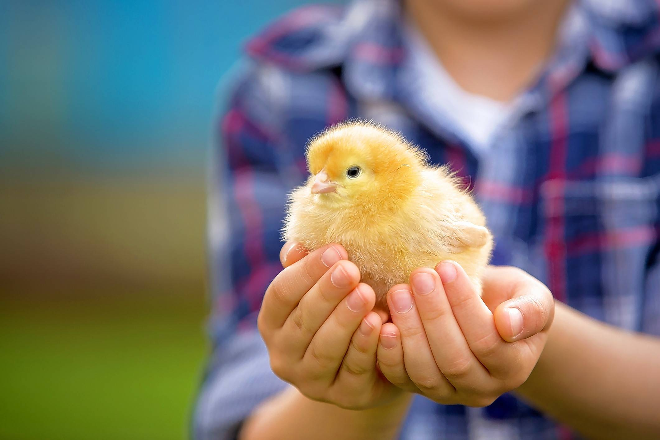 How a pet chicken helped me understand my autistic son