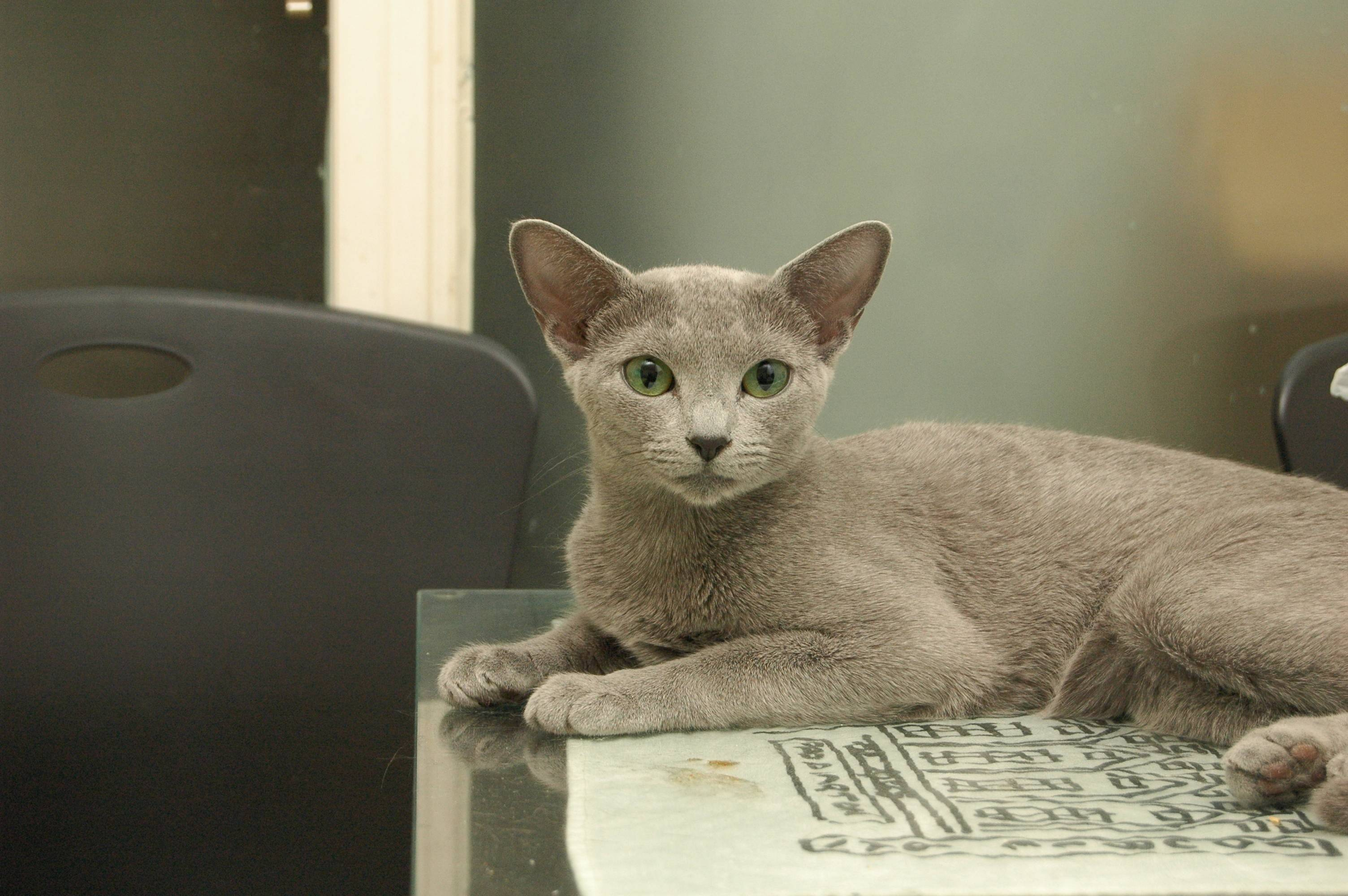 Lincoln State Cat Club member Marci Baturin of Carpentersville has been breeding Russian Blues since 1970.