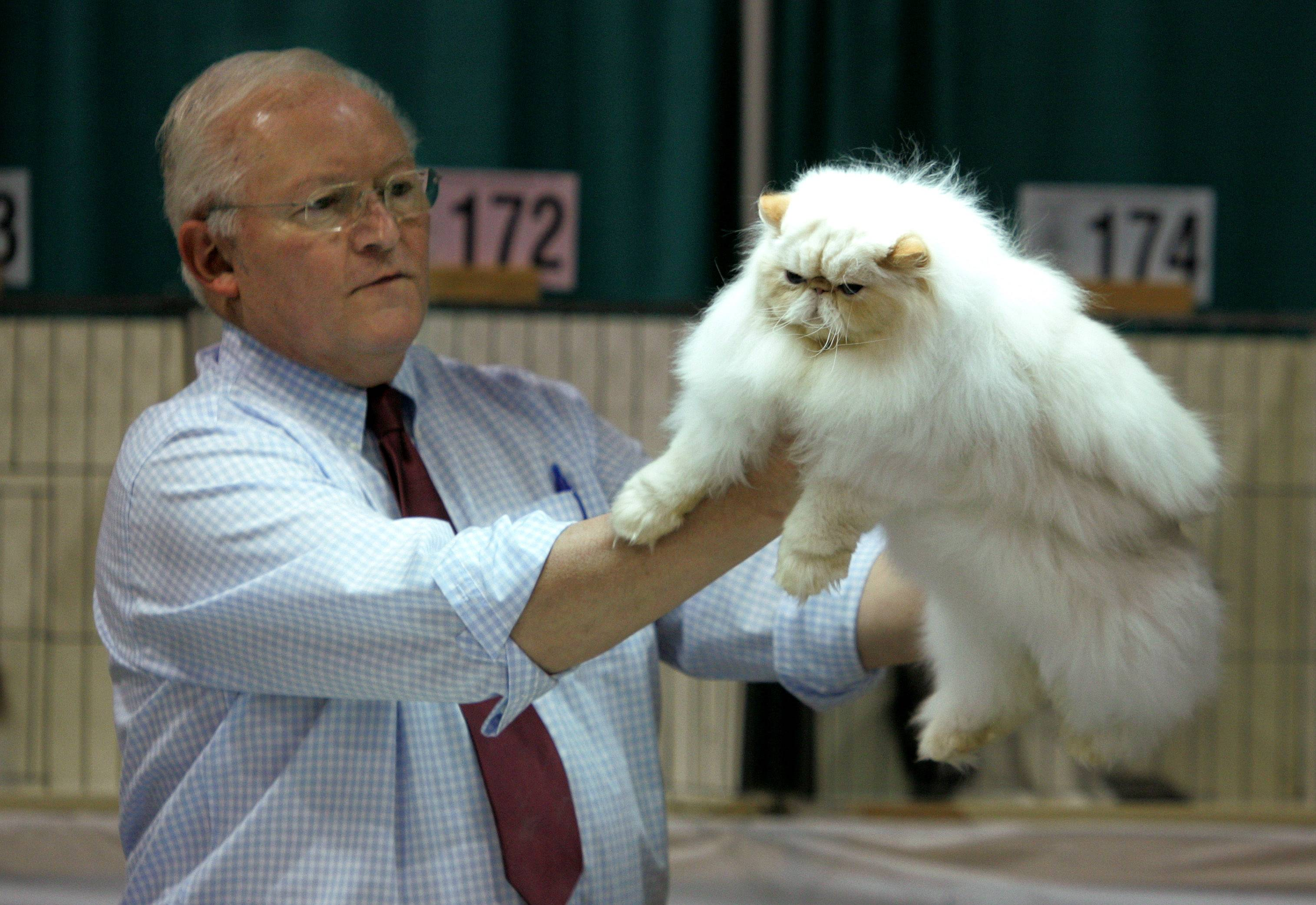 Judge David Mare looks at Laurenden Bunny, a Himalayan owned by Tom Baugh of Rochester, N.Y., during the 52nd annual Lincoln State Cat Show. This weekend's show features judging in eight rings.