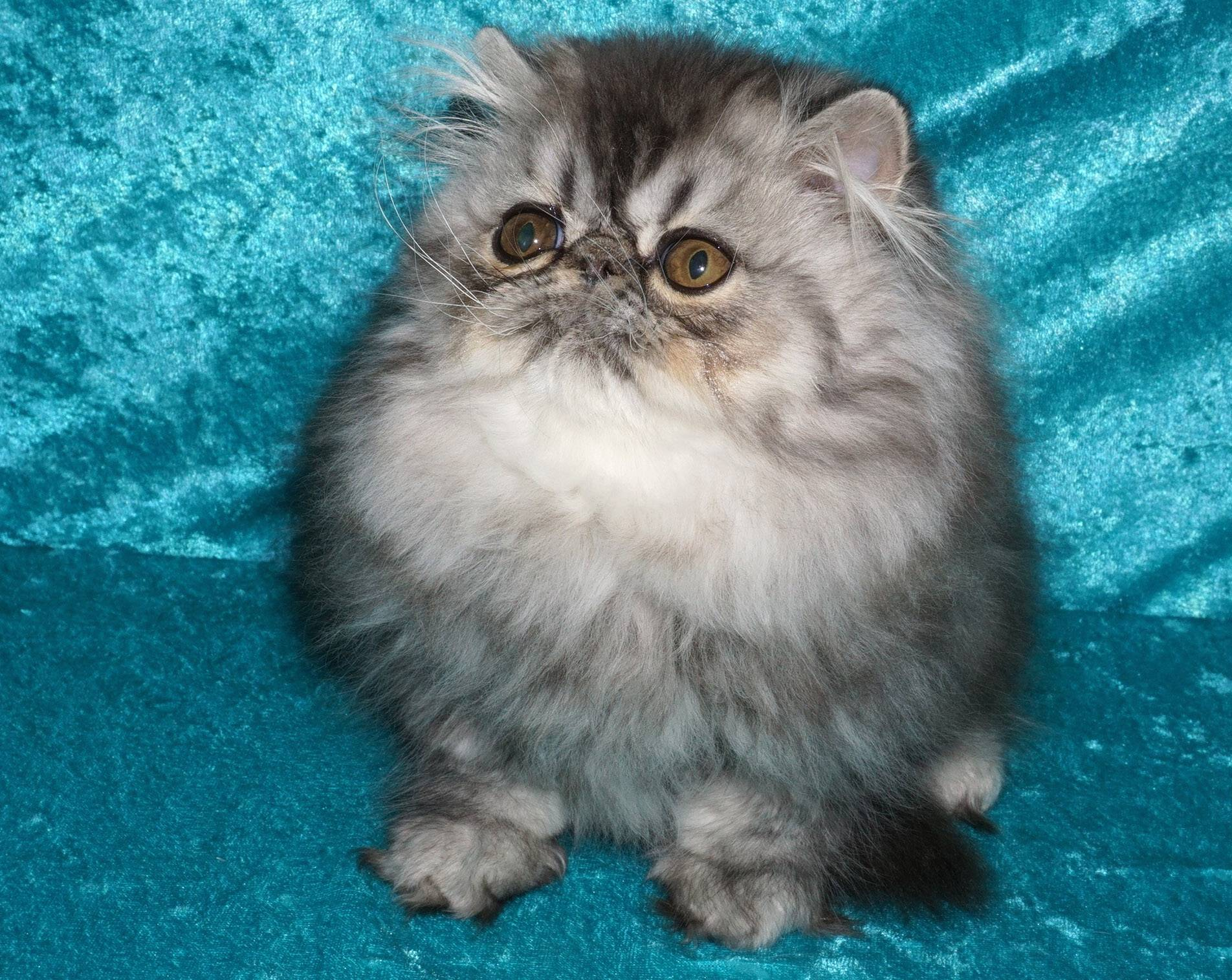 Breeder Cary Plummer, a member of the Lincoln State Cat Club and co-manager of the show, will show Joleigh Chandelier of Stars R Us, a 5-month-old silver mackerel tabby Persian male, at the club's cat show this weekend at the Kane County Fairgrounds in St. Charles.