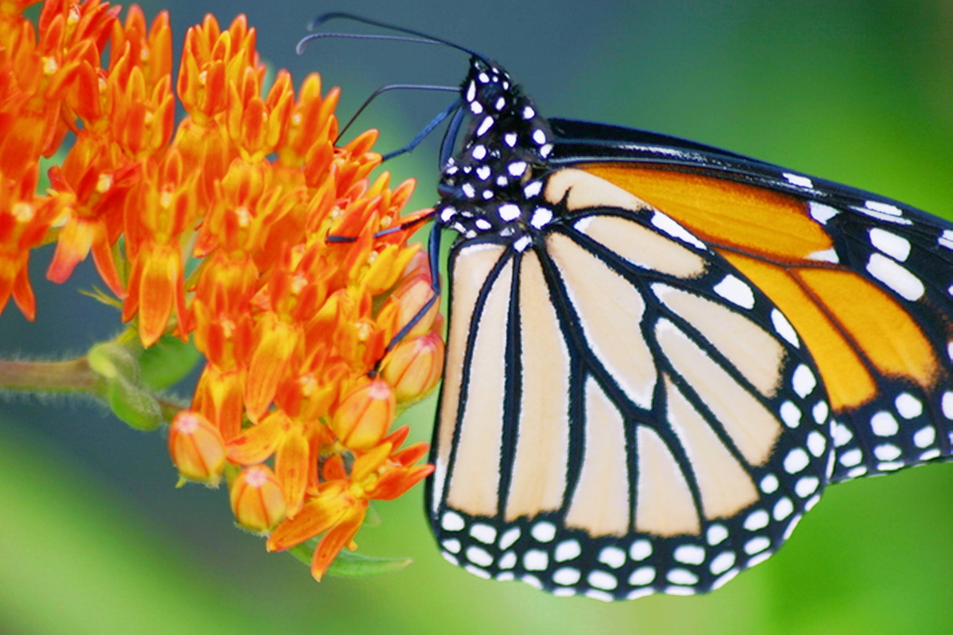 An adult monarch feeds on butterfly weed (asclepias tuberosa).