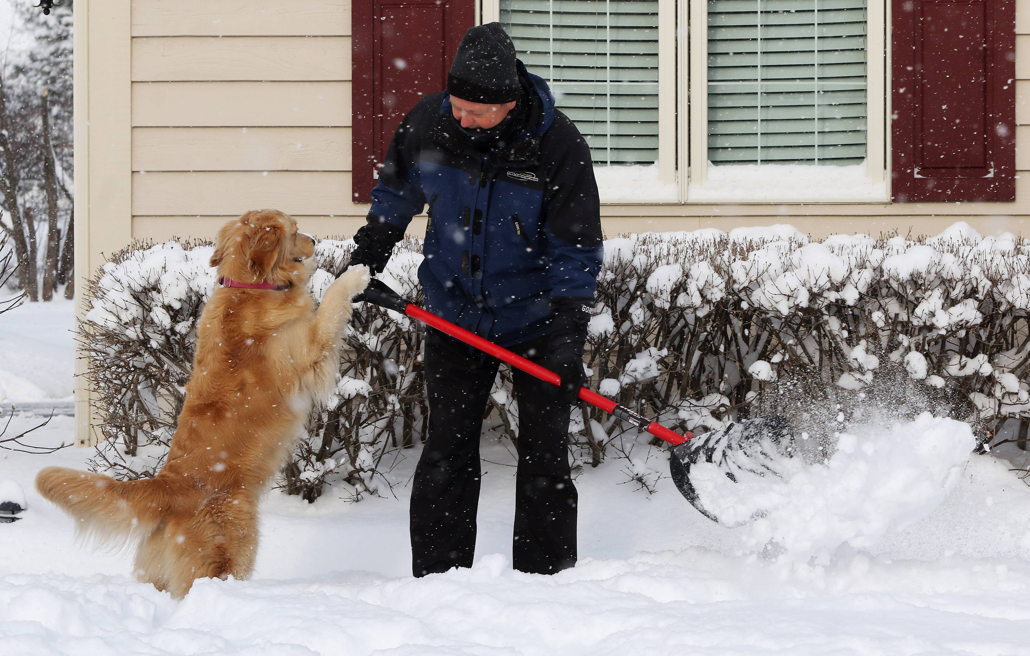 Gurnee resident Tom Westberg gets help shoveling from his golden retriever, Lilly, on Tuesday after heavy snow fell overnight. The lake effect snow created traffic nightmares in Lake County in the morning.