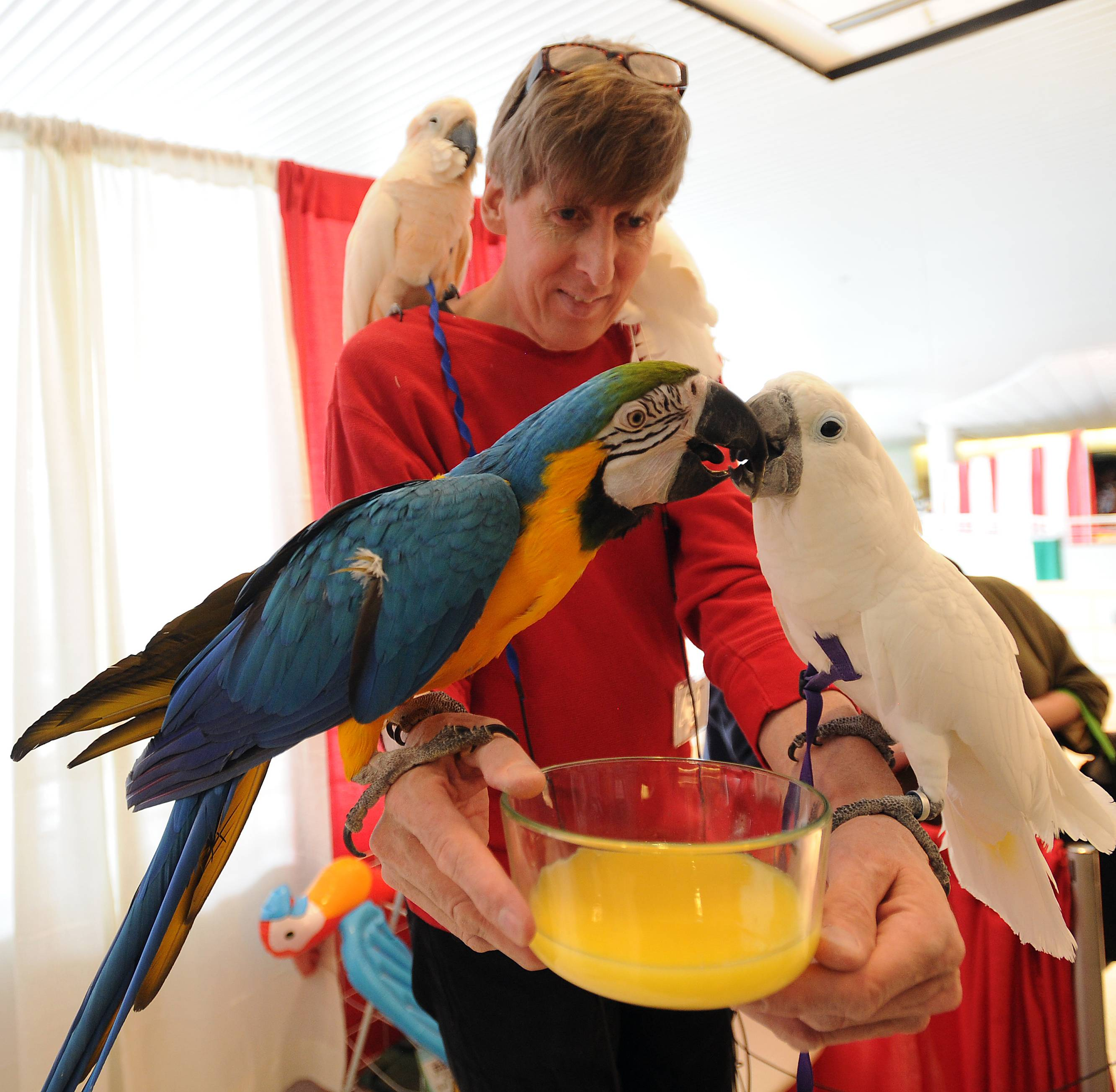 Herbert Schmitz gives some orange juice to a couple of parrots Friday at the 25th annual Chicagoland Family Pet Expo at Arlington Park.