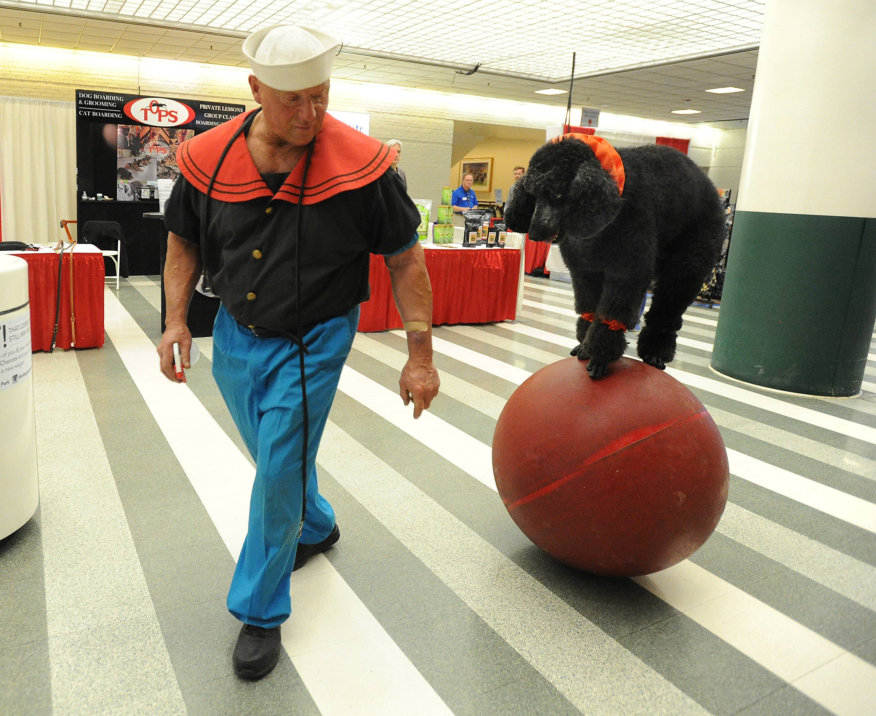 Sailor the poodle has many skills, but his owner, Alex Rothacker of Wildwood, has him practice walking on a big rubber ball before he jumps through hoops Friday at the Chicagoland Family Pet Expo at Arlington Park.