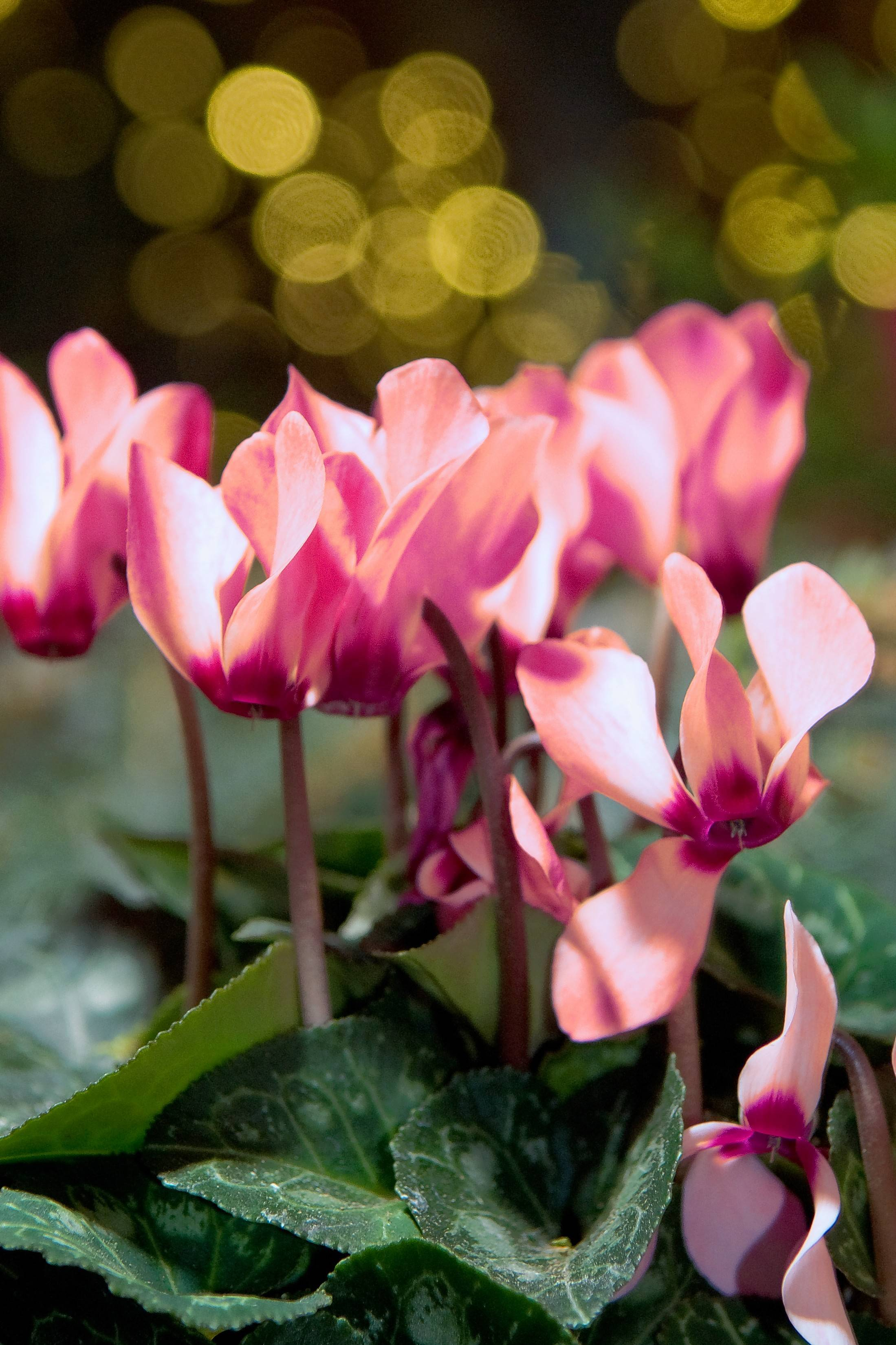 Cyclamen plants offer a burst of color in the spring.