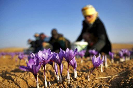 FILE - In this Monday, Oct. 31, 2016, file photo an Iranian farm worker harvests saffron flowers just outside the city of Torbat Heydariyeh, Iran. University of Vermont researchers have been raising the exotic spice now grown primarily in Iran and are encouraging growers to tap into what they hope will be a cash crop. (AP Photo/Ebrahim Noroozi, File)