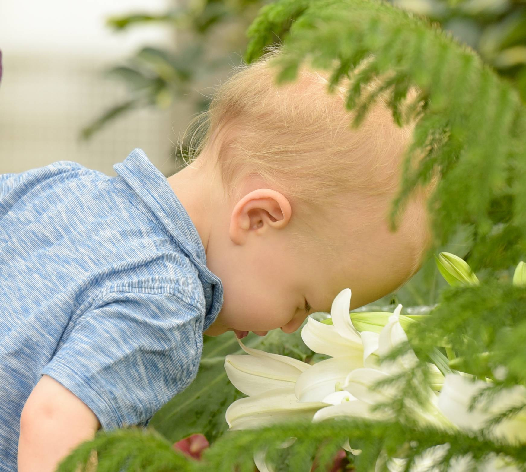 Graham Honold, 2, of Elmhurst smells the flowers Sunday as he visits the Elmhurst Park District's Wilder Park Conservatory with his mom, Sarah Honold.