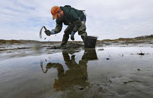 In this Tuesday, March 21, 2017 photo, Dan Harrington digs for bloodworms on a mudflat in Freeport, Maine. Maine is by far the biggest harvester of bloodworms and sandworms in the country, and the state's harvest has declined to a third of levels in the 1970s.