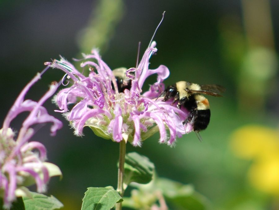 U.S. District Judge Sharon Johnson Coleman said Friday that opponents of the Longmeadow Parkway project failed to show that it poses a significant threat to the endangered rusty-patched bumblebee. She said Longmeadow construction can begin again immediately.