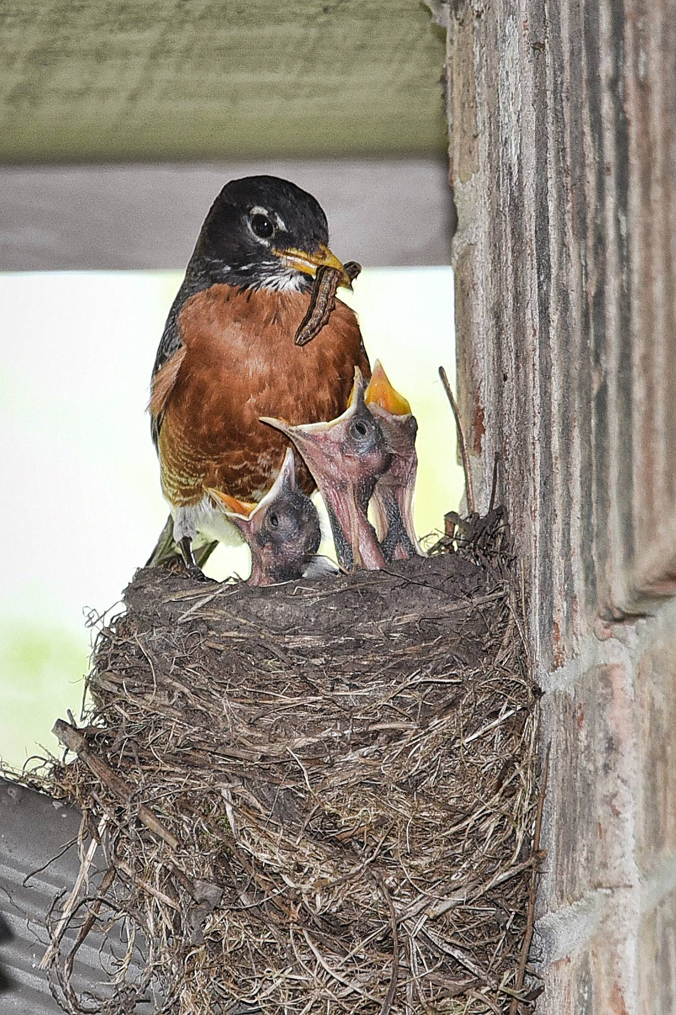 The robins made a nest on my downspout gutter. 3 baby robins started popping up their heads when either parent would bring a worm to eat. I think the robin was deciding which of the 3 to give it to. Is is quite enjoyable to see the mom and pop robin taking care of their newborns. I would title this (Lunch Time).