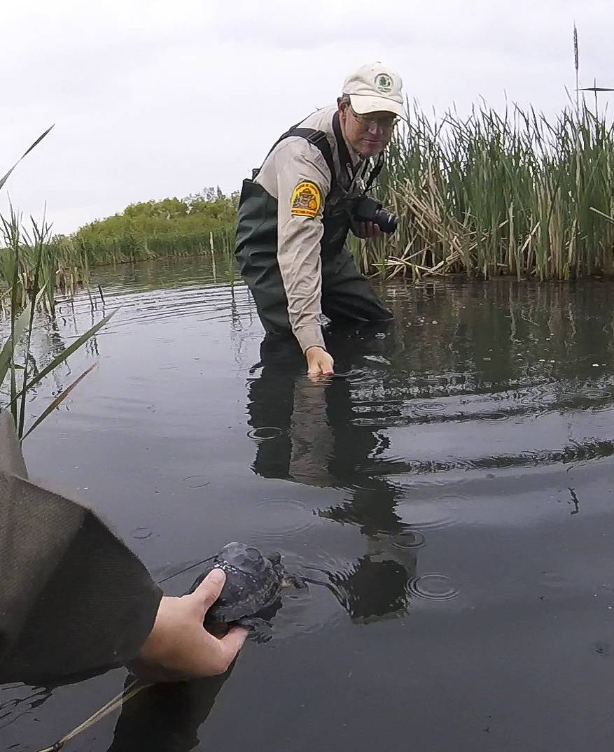 Dan Thompson, ecologist with the Forest Preserve District of DuPage County, gets video of a nearly 2-year-old Blanding's turtle that was released Tuesday in DuPage County. The turtle was raised in captivity and equipped with radio transmitters and small thermometers for ongoing research by Loyola and Benedictine universities.