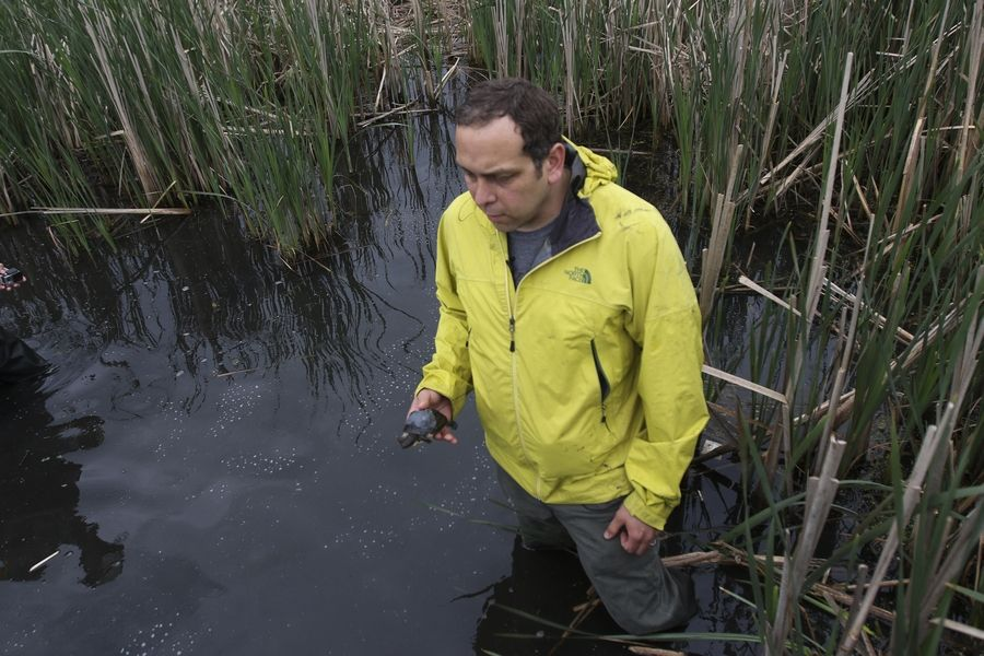 Joe Milanovich with Loyola University prepares to release a Blanding's turtle in DuPage County.