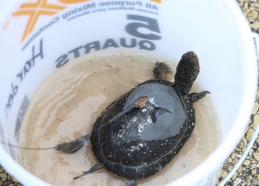 A nearly 2-year-old Blanding's turtle waits for release in DuPage County on Tuesday. The turtles were raised in captivity to give them a better chance of survival.