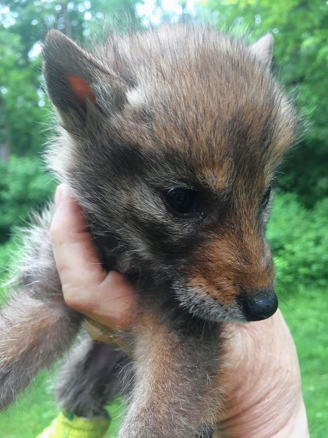 This coyote pup is recovering from surgery on its right rear leg at Flint Creek Wildlife Rehabilitation in Barrington. The animal was found with six dead siblings in a burlap bag in water May 11 at the Cook County Forest Preserve District's Penny Road Pond near Barrington Hills.